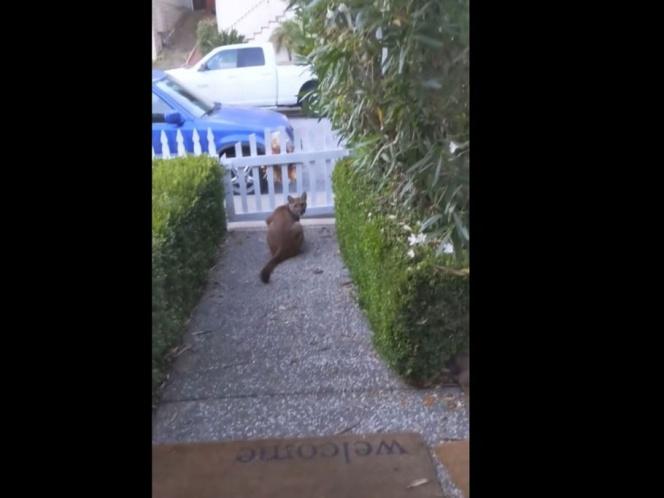 VIDEO | Puma acecha a niños en vecinario de California; es grabado