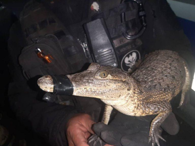 Transportaba un caimán y una serpiente en su motoneta